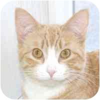 Domestic Shorthair Cat for adoption in Coleraine, Minnesota - Ricco