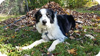 Border Collie Dog for adoption in WAterford, Wisconsin - Keeran - New Foster