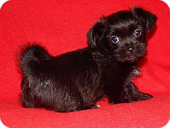 Shih Tzu/Yorkie, Yorkshire Terrier Mix Puppy for adoption in Old Fort, North Carolina - Paisley