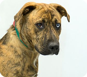 Australian Shepherd/Boxer Mix Dog for adoption in Martinsville, Indiana - Rush