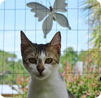 Domestic Shorthair Cat for adoption in Port St. Joe, Florida - Annika