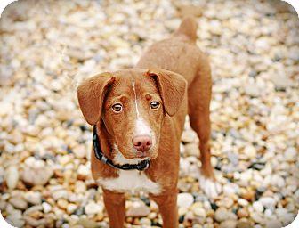 Pointer/Terrier (Unknown Type, Medium) Mix Dog for adoption in Marietta, Georgia - P. J.