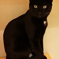 Domestic Shorthair Kitten for adoption in Westbury, New York - Chocolate