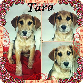 Airedale Terrier/Labrador Retriever Mix Puppy for adoption in East Hartford, Connecticut - Tara-pending adoption