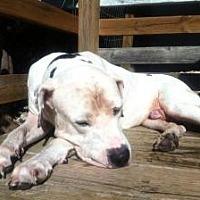 Adopt A Pet :: Nolan - Austin, TX
