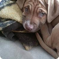 Adopt A Pet :: Zoie - Davison, MI