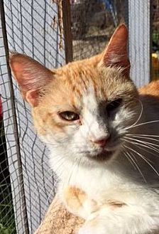 Domestic Shorthair Cat for adoption in Porter, Texas - Dreamsicle