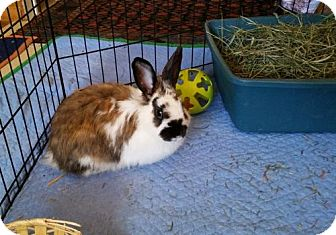 English Spot Mix for adoption in Albuquerque, New Mexico - Sprinkles