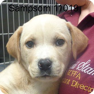 Labrador Retriever Mix Puppy for adoption in Greencastle, North Carolina - Sampson