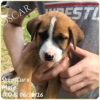 Shepherd (Unknown Type)/Black Mouth Cur Mix Puppy for adoption in DeForest, Wisconsin - Oscar
