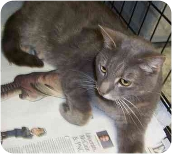 Domestic Shorthair Cat for adoption in Somerset, Pennsylvania - Pebbles