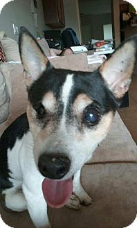 Fox Terrier (Toy) Dog for adoption in Goodyear, Arizona - Sparrow
