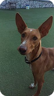 Podengo Portugueso Dog for adoption in Cape Coral, Florida - Buddy