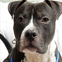 Adopt A Pet :: Ringo Starr - Long Beach, NY