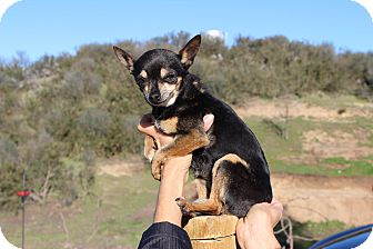 Chihuahua Mix Dog for adoption in Creston, California - Tinker