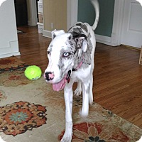 Adopt A Pet :: Macy - St. Louis, MO