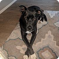 Adopt A Pet :: Blackberry aka Bear - Rockford, IL
