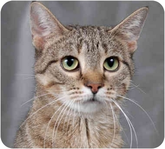 Domestic Shorthair Cat for adoption in Chicago, Illinois - Orla