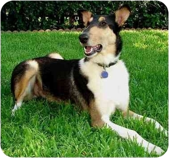 Collie Dog for adoption in Trabuco Canyon, California - Shine