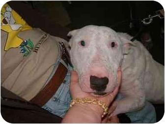 Bull Terrier Dog for adoption in Houston, Texas - Peter