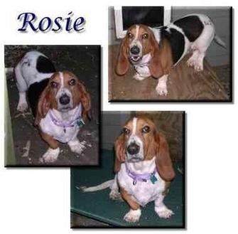 Basset Hound Dog for adoption in Marietta, Georgia - Rosie