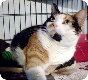 Calico Cat for adoption in Brooklyn, New York - Charmaine