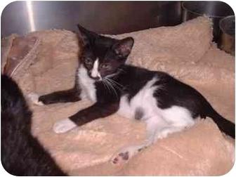 Domestic Shorthair Cat for adoption in Sterling, Kansas - Rachel