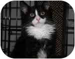 Domestic Longhair Kitten for adoption in Lake Ronkonkoma, New York - Mooshi & Junior