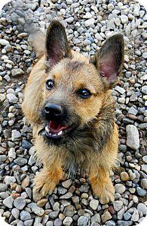 Yorkie, Yorkshire Terrier/Terrier (Unknown Type, Small) Mix Dog for adoption in Golden Valley, Arizona - Bogie