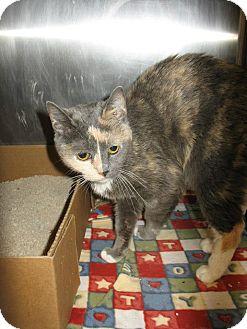 British Shorthair Cat for adoption in Scottsdale, Arizona - Delilah- courtesy post