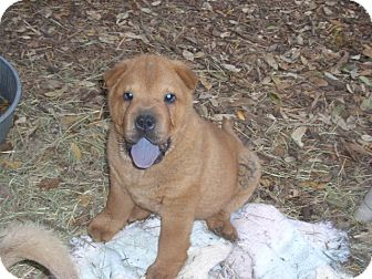 Chow Chow/Shar Pei Mix Puppy for adoption in Fair Oaks Ranch, Texas - Chow pups
