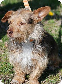Yorkie, Yorkshire Terrier/Welsh Corgi Mix Dog for adoption in Providence, Rhode Island - Arlo