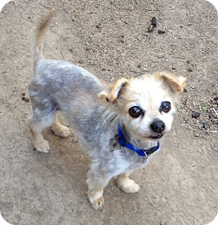Yorkie, Yorkshire Terrier/Pomeranian Mix Dog for adoption in Gustine, California - DICKENS