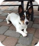 Jack Russell Terrier/Jack Russell Terrier Mix Dog for adoption in Manahawkin, New Jersey - Parson