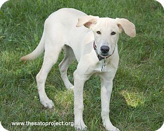 Labrador Retriever Mix Puppy for adoption in Brooklyn, New York - Joyful Jinx