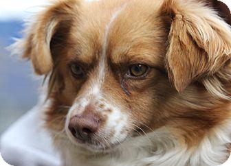 Pomeranian Mix Dog for adoption in San Francisco, California - Derby