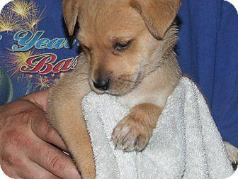 Golden Retriever/Boxer Mix Puppy for adoption in ST LOUIS, Missouri - Lady
