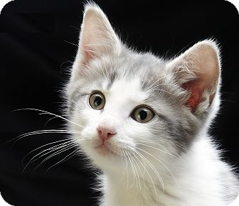 Domestic Shorthair Kitten for adoption in Royal Oak, Michigan - VICTOR