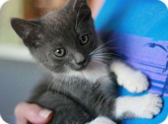 Domestic Shorthair Kitten for adoption in Canoga Park, California - Moose