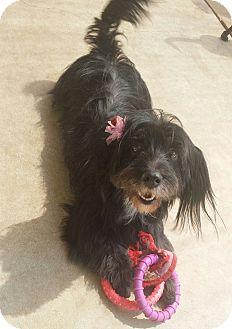 Skye Terrier Dog for adoption in Inland Empire, California - CINDERELLA
