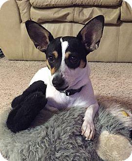 Jack Russell Terrier/Rat Terrier Mix Puppy for adoption in San Antonio, Texas - Nugget In San Antonio