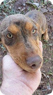 Dachshund Mix Dog for adoption in Wichita Falls, Texas - Tootsie