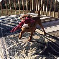 Adopt A Pet :: Tess - Greenville, SC