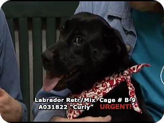 Labrador Retriever Mix Dog for adoption in Newnan City, Georgia - Curly
