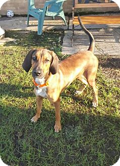Bloodhound Mix Dog for adoption in Shreveport, Louisiana - Zoey