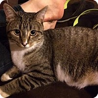 Domestic Shorthair Cat for adoption in Littleton, Colorado - Bea