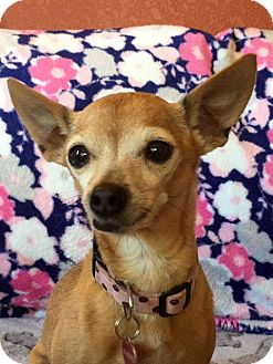 Chihuahua Mix Dog for adoption in Vacaville, California - Pearl