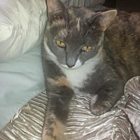 Calico Cat for adoption in Sunny Isles Beach, Florida - Maggie