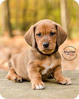 Basset Hound/Labrador Retriever Mix Puppy for adoption in Cincinnati, Ohio - Bond