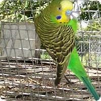 Adopt A Pet :: Lime - Christmas, FL
